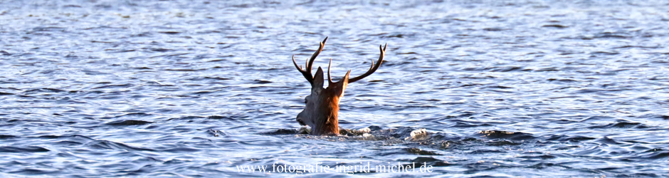 Schwimmender Hirsch